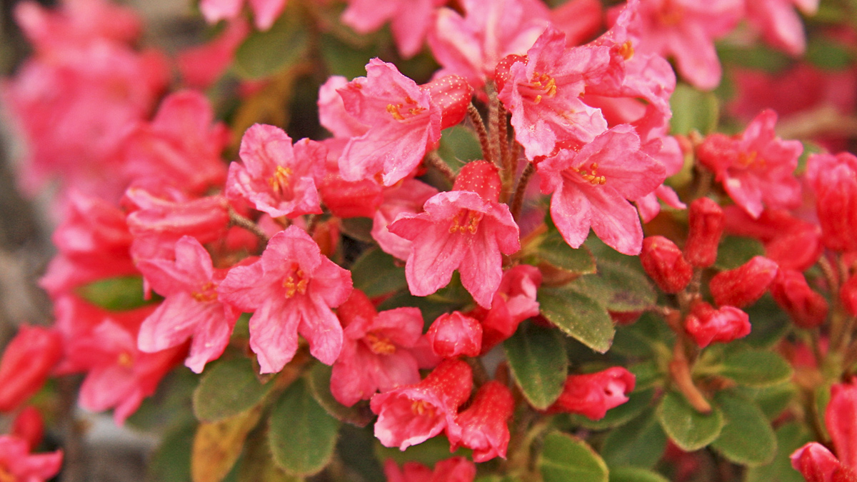 die Bewimperte Alpenrose (Rhododendron hirsutum)