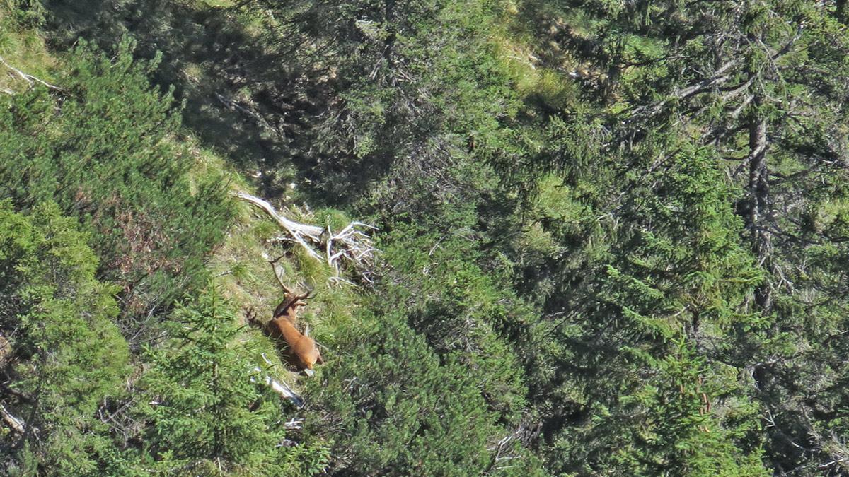 ein Rothirsch ruht sich im Blassenwald aus - bald beginnt die Brunftzeit, da heißt es die Kräfte sammeln