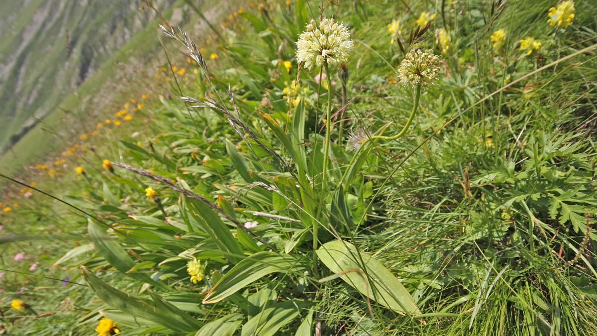 der Allermannsharnisch (Allium victorialis) zählt zu den Liliengewächsen