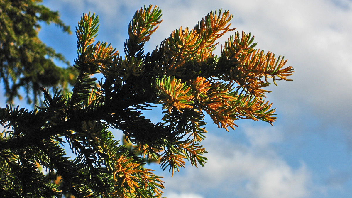 der Fichtennadelblasenrost (Chrysomyxa rhododendri) verursacht auffällige Symptome an Fichtennadeln, ist aber Untersuchungen zufolge für die Waldwirtschaft lediglich von geringer Bedeutung (Waldschäden)