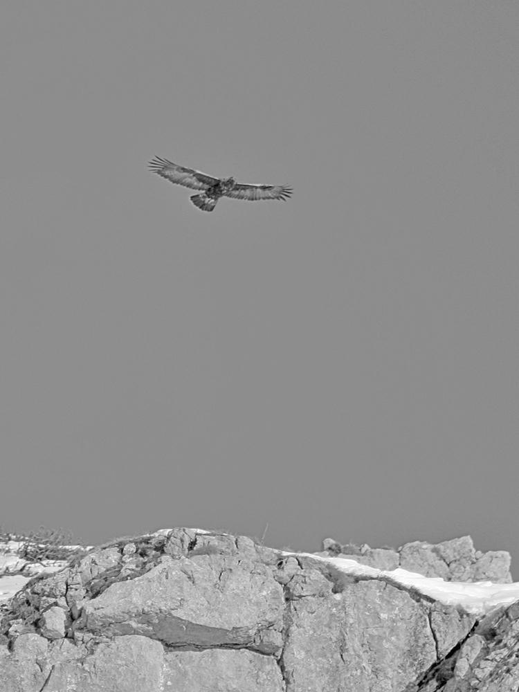 der Steinadler (Aquila chrysaetos) verfügt über eine Spannweite von zumeist 2 Metern