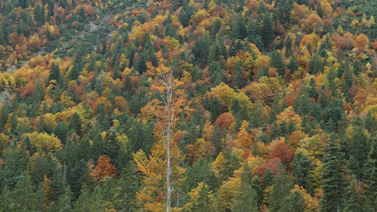 der Herbstwald bei der Häselgehralpe (Lermoos)