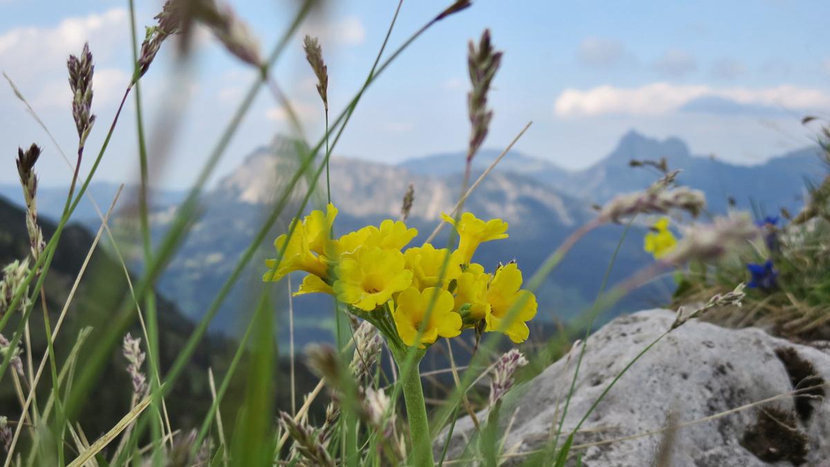 ein Gipfelkreuz gibt es am Roßberg nicht - dafür kann man schöne Alpenblumen wie hier die Aurikel bewundern