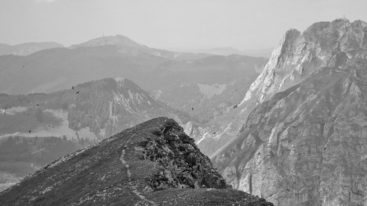 Massen von Alpenseglern (Tachymarptis melba) umfliegen den Gipfel des Brentenjoches
