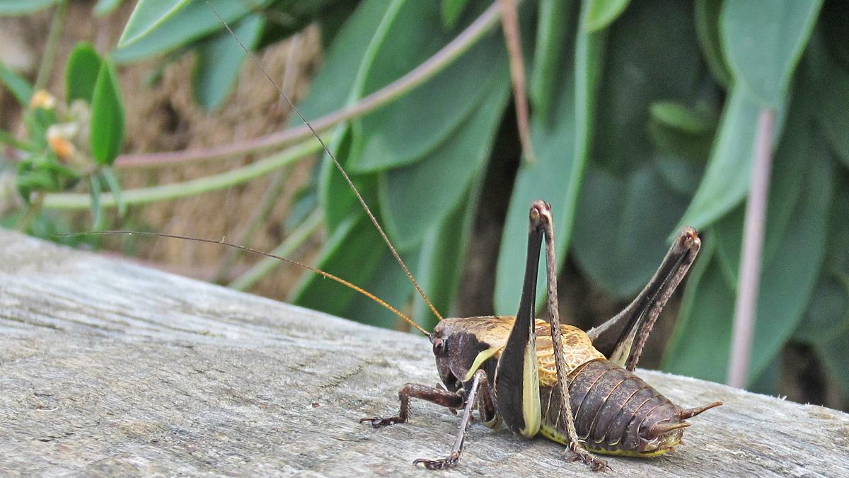 die Alpen-Strauchschrecke (Pholidoptera aptera) ist eine Langfühlerschrecke - hier im Bild ein männliches Exemplar