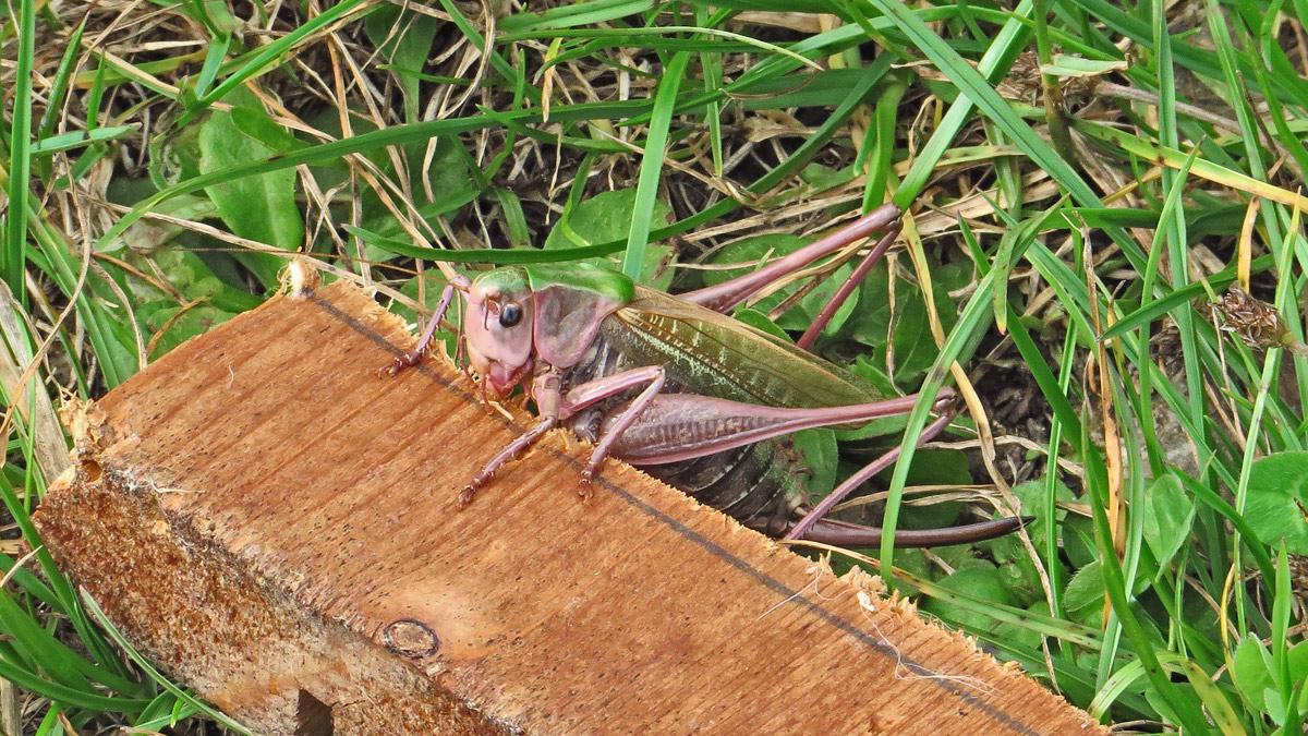 der Warzenbeißer (Decticus verrucivorus) trägt einen für Heuschrecken eher seltsamen Namen. Auf Grund seiner ätzenden Verdauungssäfte ließ man früher das Tier in Warzen beißen und erhoffte sich dadurch eine heilende Wirkung (Quelle: Wikipedia)