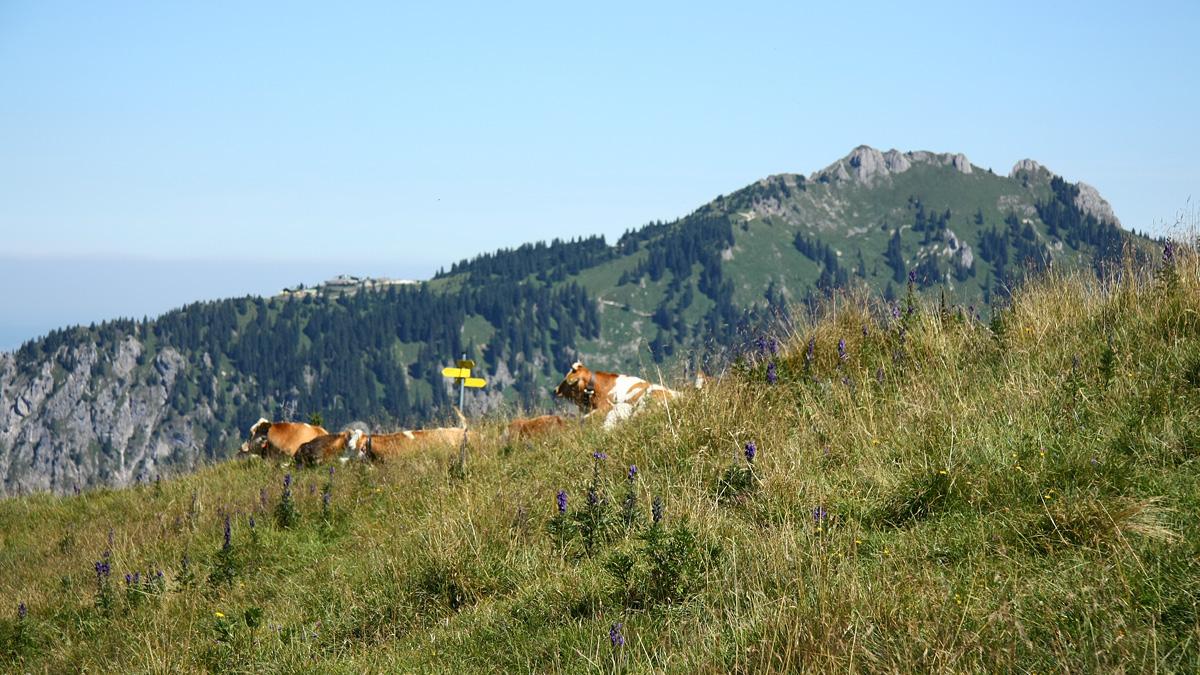 Weidetiere rasten an der Nordschulter des Koflerjoches - im Hintergrund der Tegelberg (Branderschrofen)