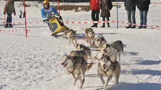 Schlittenhunde-Rennen