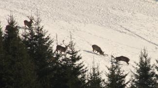 Schaukampf der Hirsche