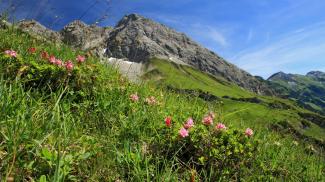 Alpenrosen im Hochalptal