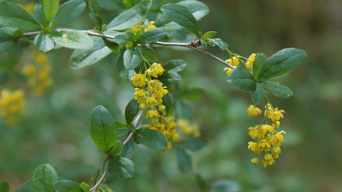 die Blüten der Gewöhnlichen Berberitze (Berberis vulgaris)