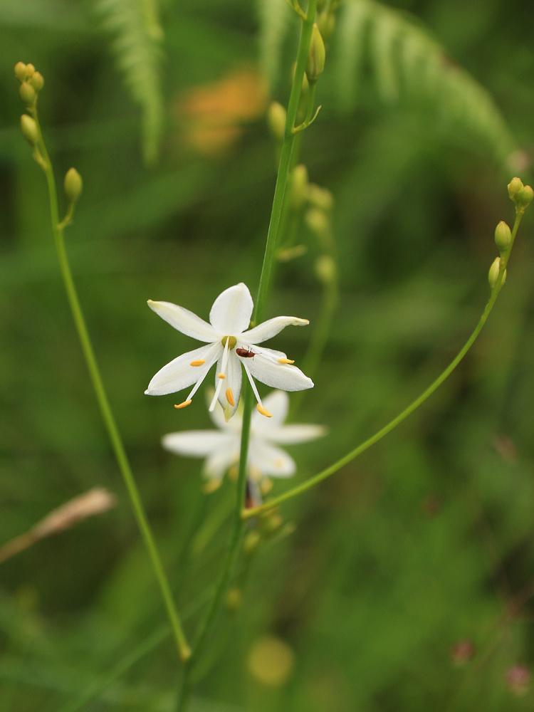 die Rispige oder auch Ästige Graslilie (Anthericum ramosum)