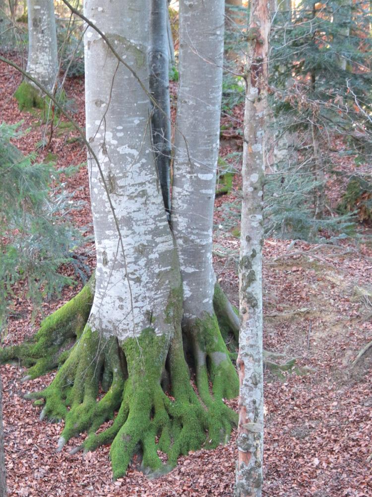 starke Wurzeln hat dieser Baum im Tobel bei der einstigen Burg Kranzegg oberhalb Petersthal