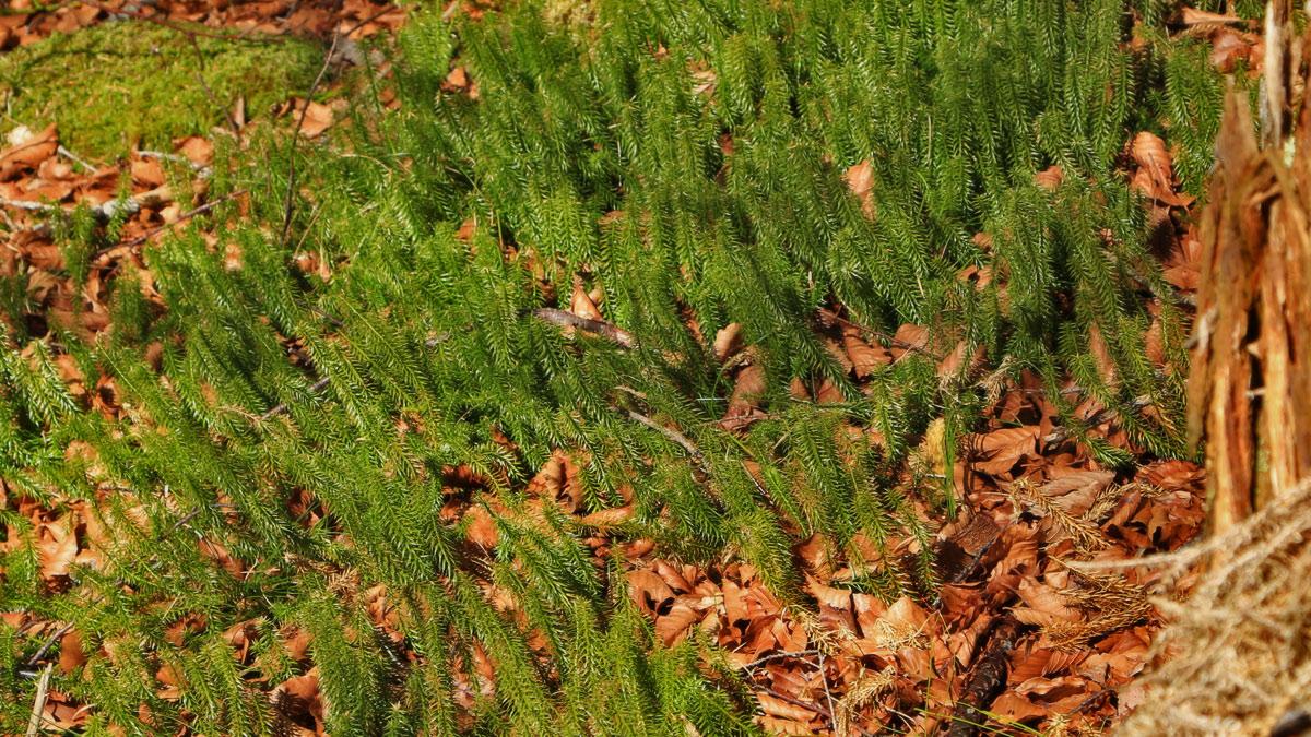 der Sprossende Bärlapp (Lycopodium annotinum) überzieht häufig große Flächen im Wald