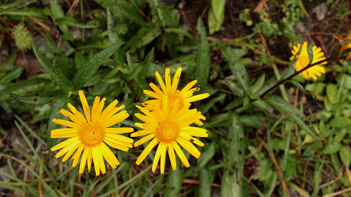 das Weidenblättrige Ochsenauge (Buphthalmum salicifolium)
