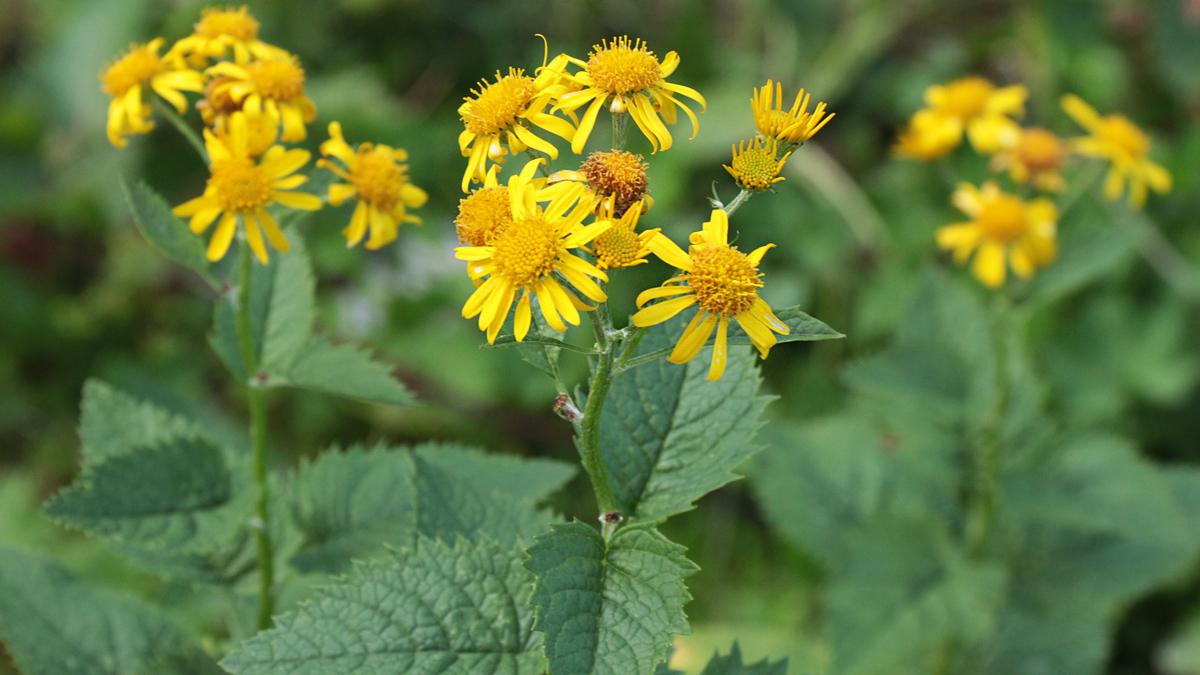 das Alpen-Greiskraut oder auch Alpen-Kreuzkraut (Jacobaea alpina) ist eine sich schnell ausbreitende 'Schadpflanze' auf Alpweiden und zudem für Menschen und Tiere giftig