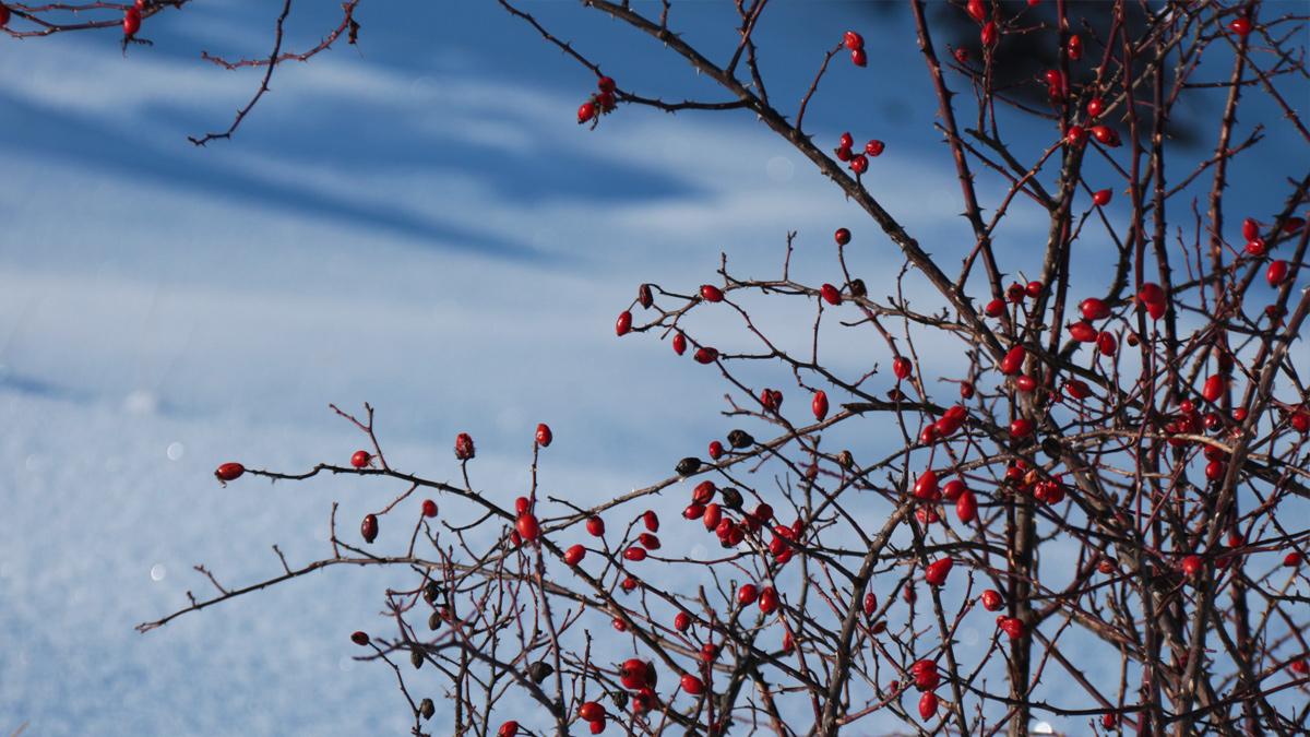 die Früchte der Alpen-Heckenrose (Rosa pendulina), auch als Hagebutte bekannt, sind im Winter eine wichtige Nahrungsquelle für die standorttreuen, heimischen Vögel