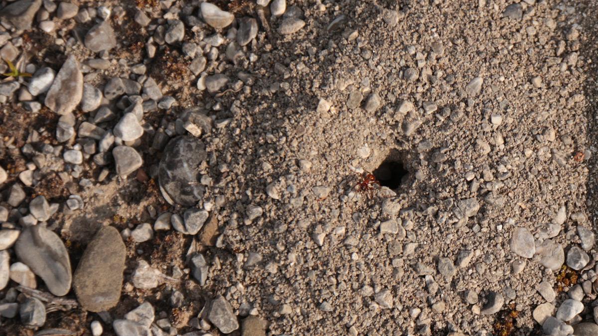 riskanter Wohnort - ein Ameisen-Erdnest am Ufer des Lech