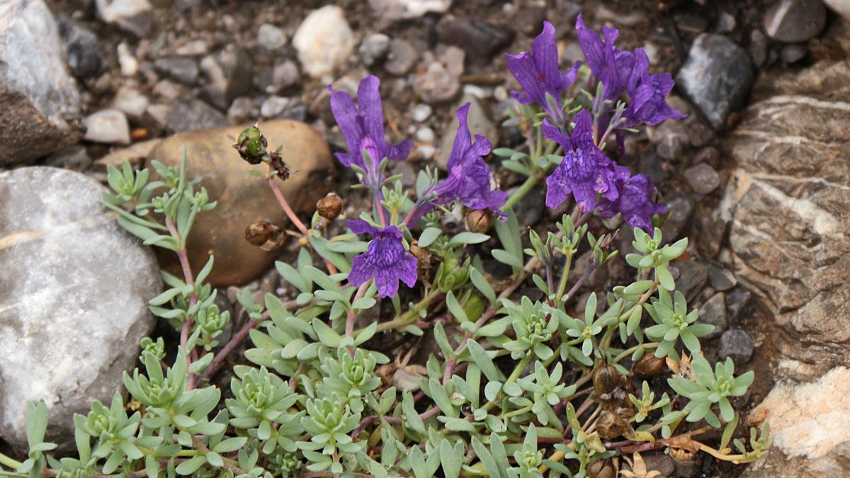 das Alpen-Leinkraut (Linaria alpina) wird mancherorts auch als Grießspeik bezeichnet