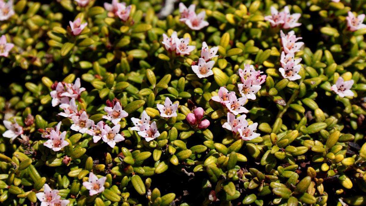 die Alpenazalee (Loiseleuria procumbens) zählt zu den Heidekrautgewächsen