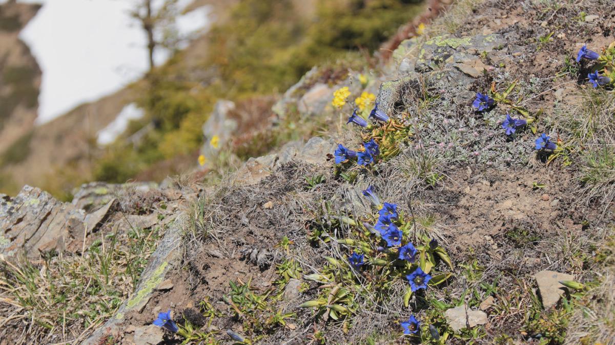 Enzian und Aurikel wachsen am Portlahorn in rauen Mengen