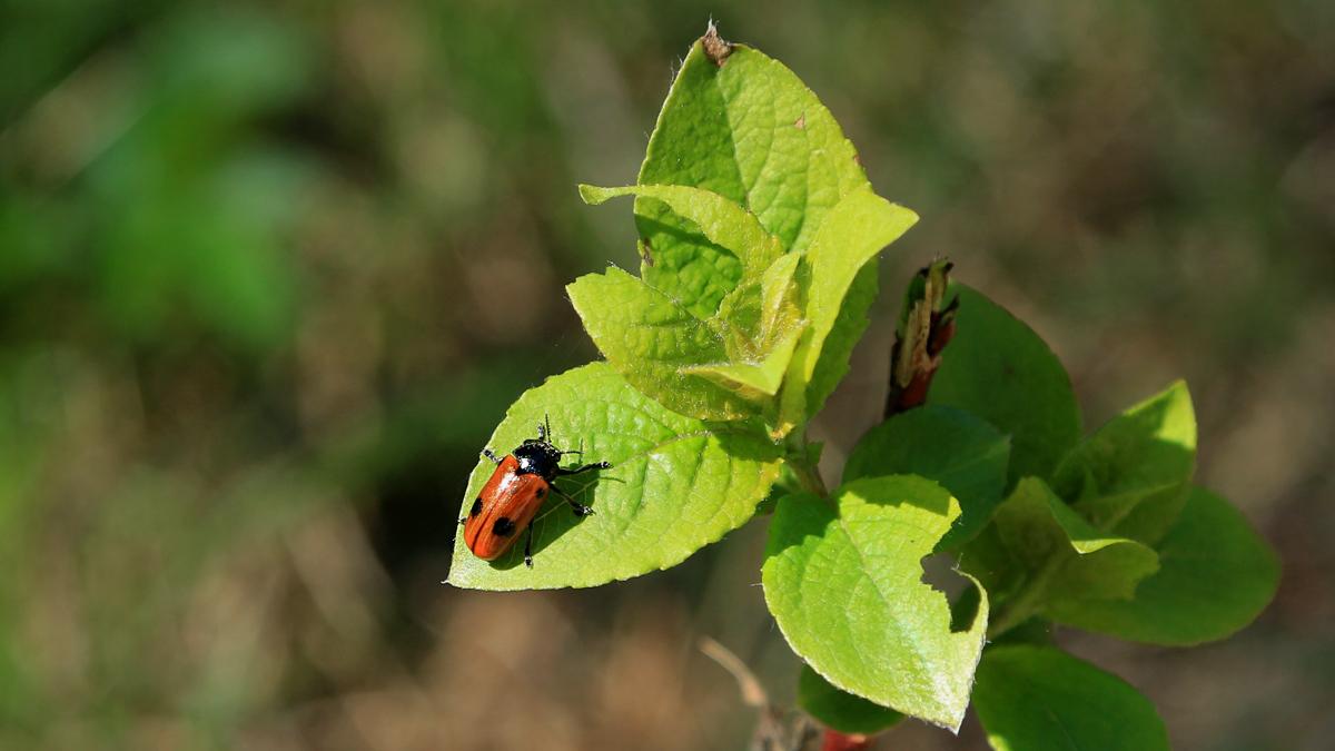 ein Ameisensackkäfer oder Ameisen-Blattkäfer (Clytra laeviuscula)