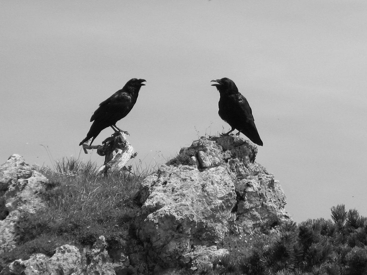 Schwarze Vogel: Raben oder Rabenkrähen zwischen Zinken und Sorgschrofen (Aufnahme aus 2007)