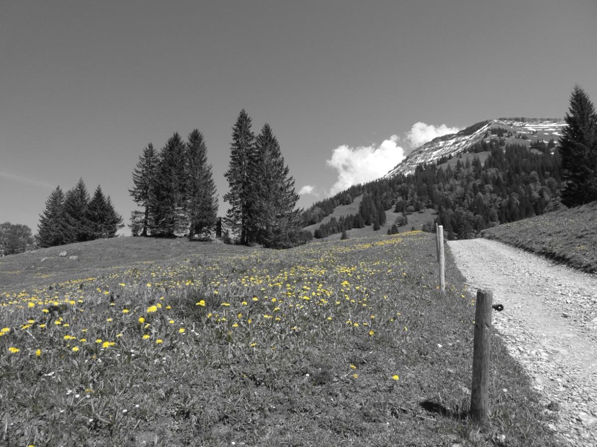 Blumenwiese am Hochgrat