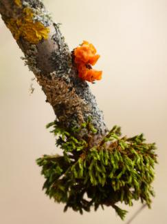 Pilz, Moos und Flechten am Zweig