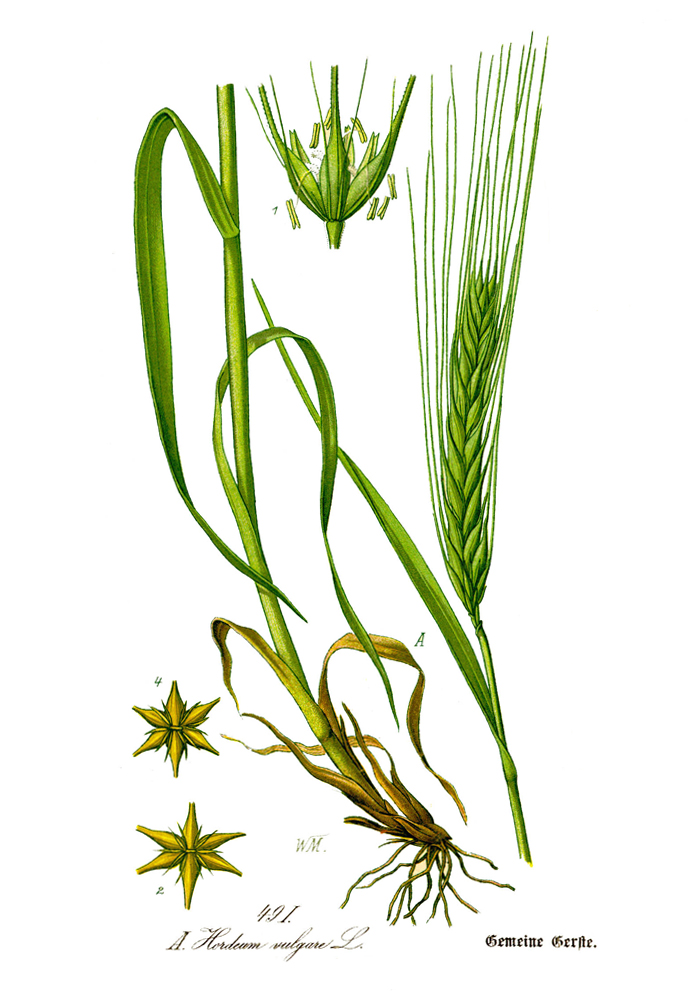 gerste hordeum vulgare thome illustration