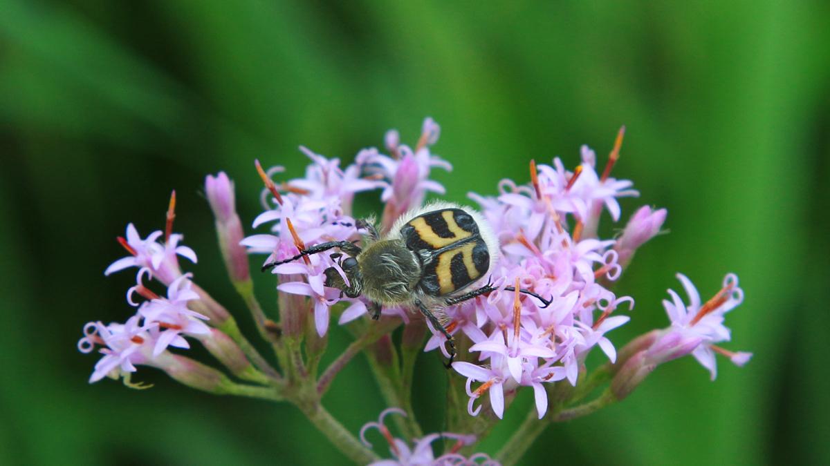 der Gebänderte Pinselkäfer (Trichius fasciatus) ist ein Käfer aus der Familie der Blatthornkäfer und auf Waldlichtungen im Bergland gebietsweise häufig anzutreffen