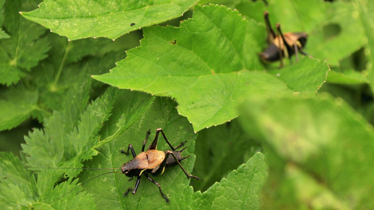 die Alpen-Strauchschrecke (Philodoptera aptera) gehört zur Überfamilie der Laubheuschrecken (Tettigonioidea)