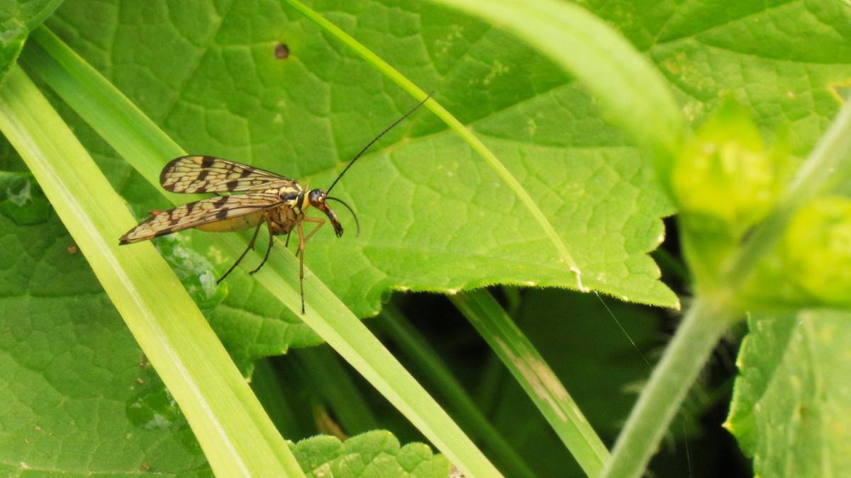 die Gemeine Skorpionsfliege (Panorpa communis) [hier im Bild ein Weibchen] zählt zur Familie der Schnabelfliegen