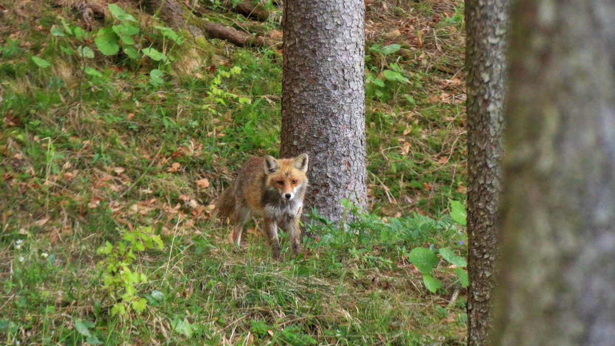 der Rotfuchs (Vulpes vulpes) ist im Forumsgebiet häufig anzutreffen