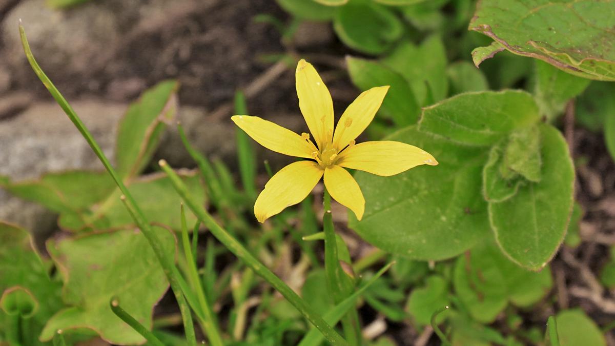 der Alpen-Goldstern (Gagea fistulosa) wächst zumeist auf kalkarmen, nährstoffreichen aber feuchten Böden