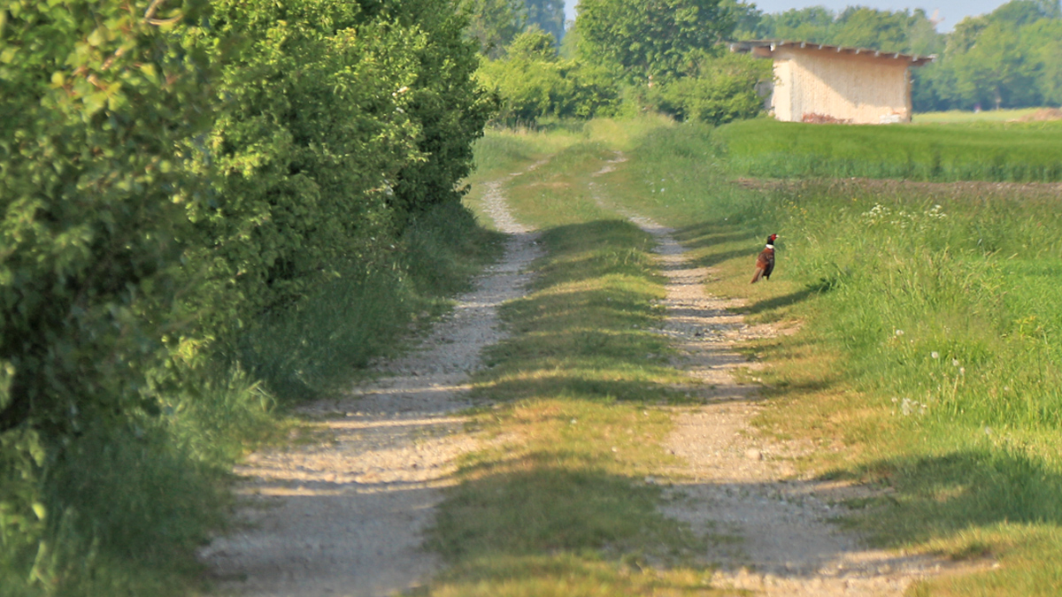 von Zeit zu Zeit nutzt auch der Fasan die alte Via Claudia um von A nach B zu kommen