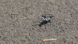 berg-sandlaufkäfer cicindela sylvicola