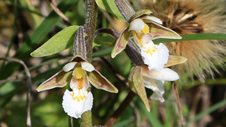 sumpf-stendelwurz epipactis palustris orchideen