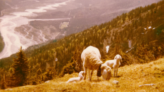 Schafe am Gamplboden