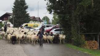die Schafe kommen