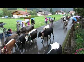 Alpfahrt Tannheim 2014