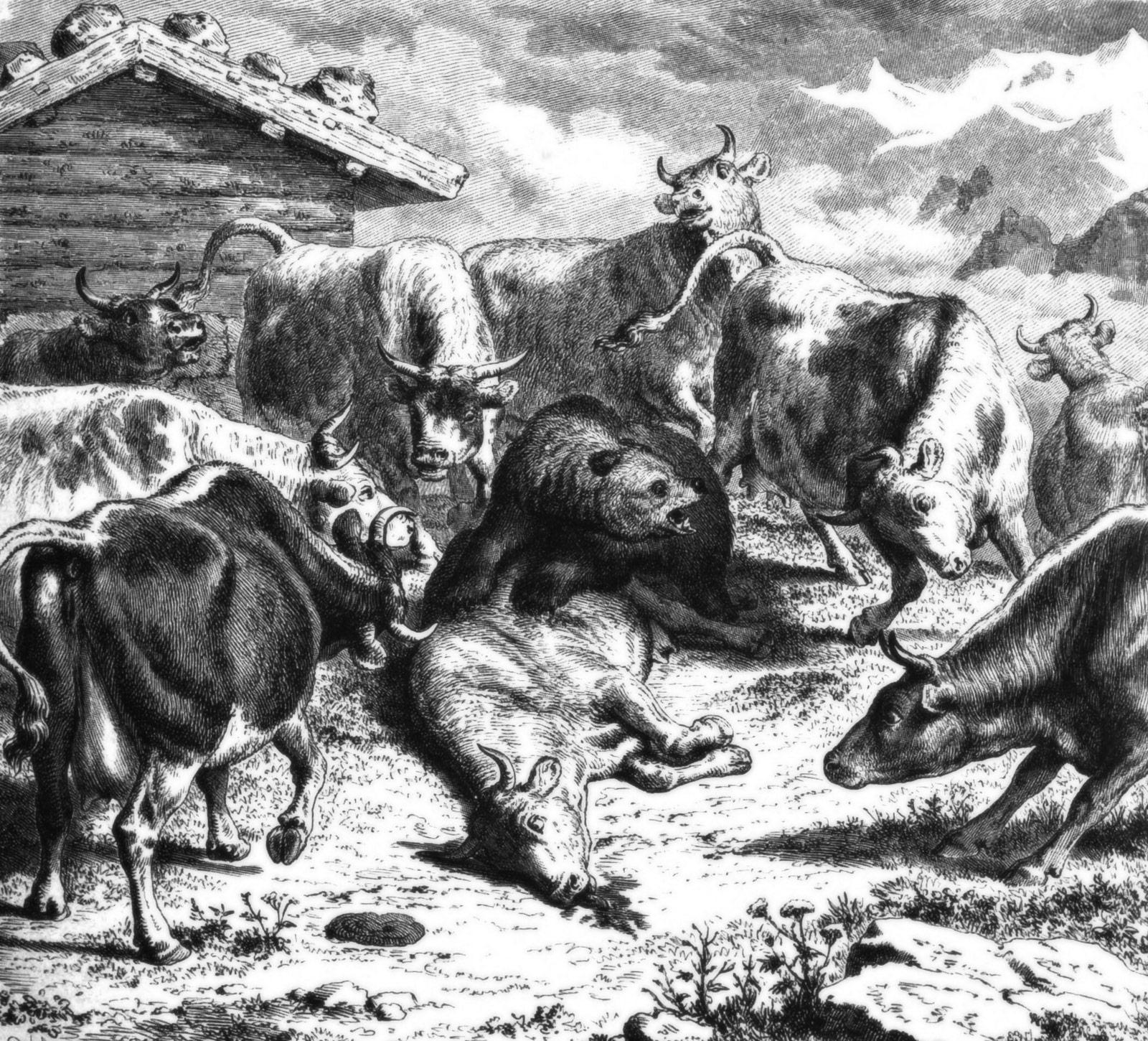 gartenlaube bär meister petz kuhherde kühe rinder kampf